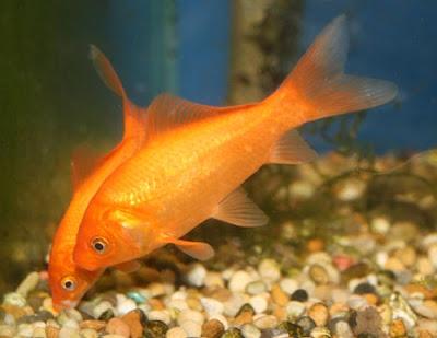 Popular Goldfish