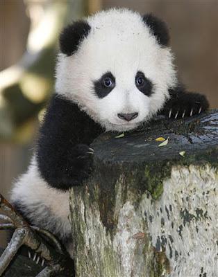 Photo of Baby Panda