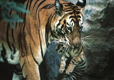 Top Tiger Photo