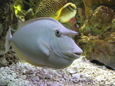 Unicorn Tang Fish Image