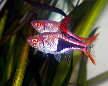 Harlequin Rasbora Pictures Gallery ~ Tropical Fish Gallery