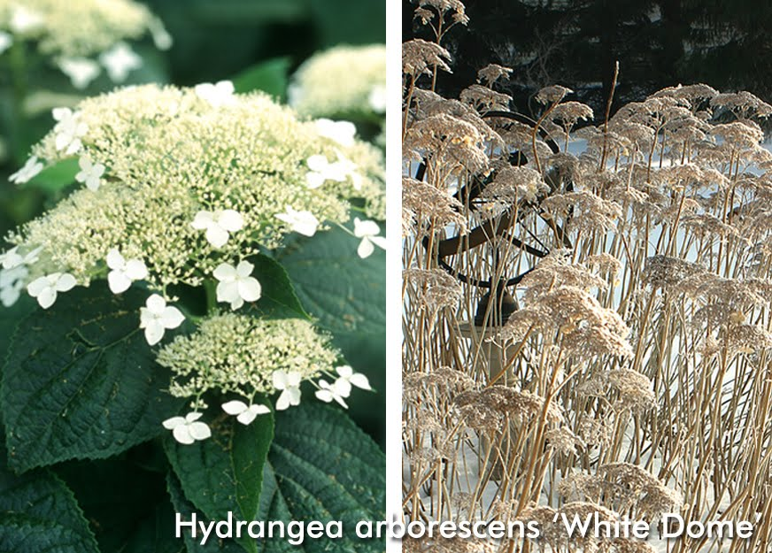 Grounded design by thomas rainer native plants for the cottage garden i like hydrangea arborescens species because it grows more like a loose perennial than the native oakleaf mightylinksfo