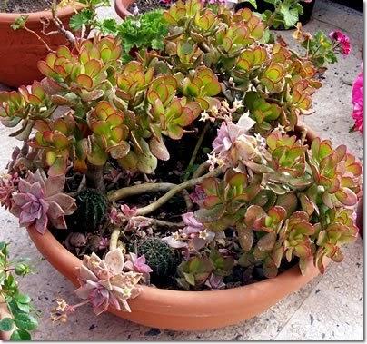 Piante in vaso ciotola con piante grasse e succulente for Piante grasse succulente