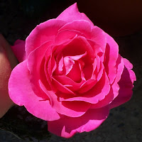 Piante in vaso prevenire le malattie delle rose for Ruggine delle rose
