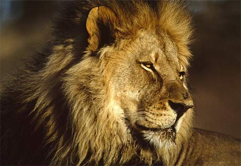 African Animals - African Lions