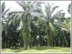 Cadangan 2. PERAM mengusahakan 1 juta hektar ladang kelapa sawit untuk Biofuel