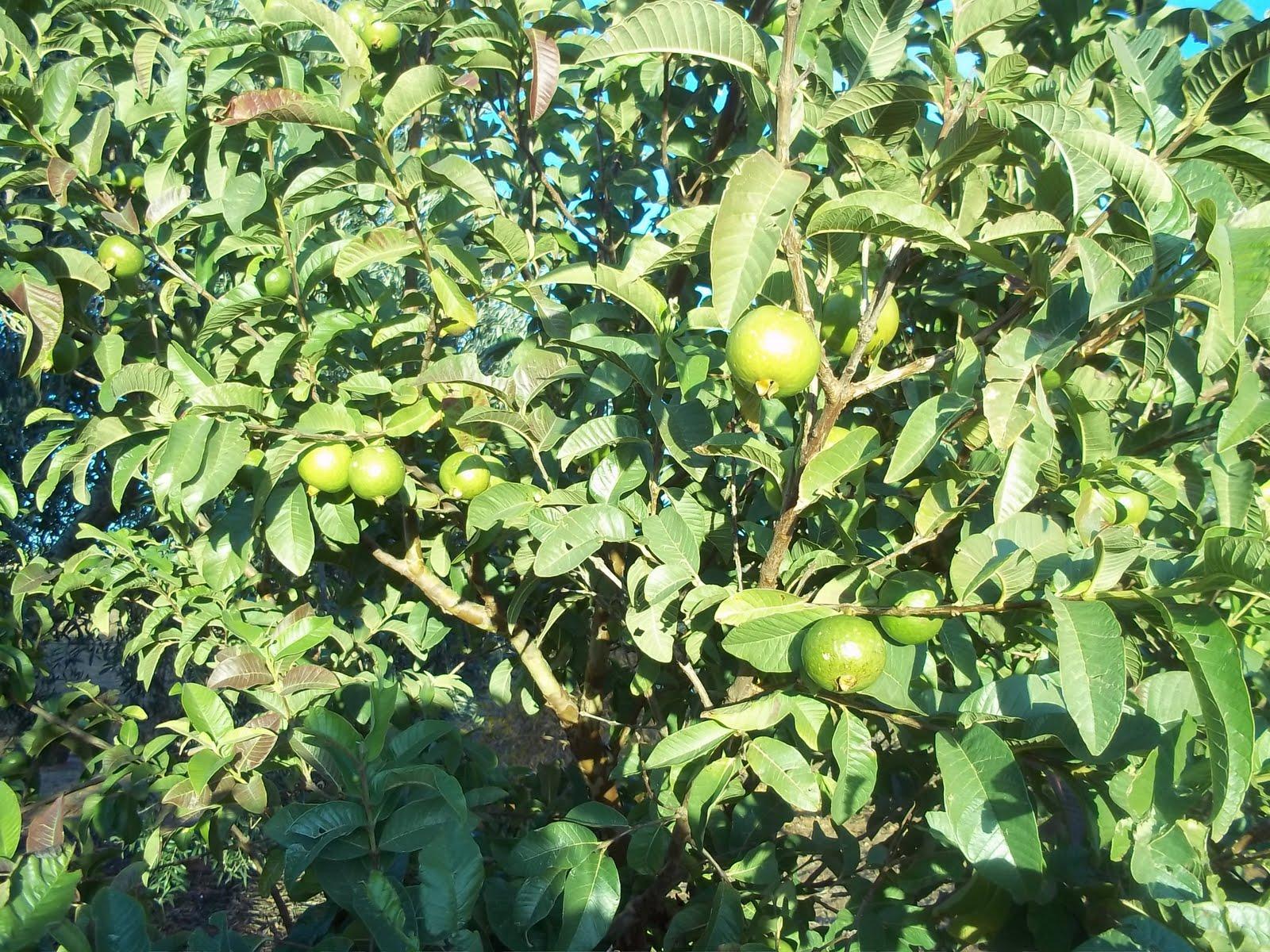 mi peque241o jardin del arrastre el arbol de la guayaba