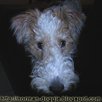 Wire Fox Terrier tales