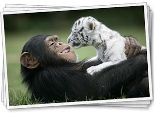 [Image: Foto+Monyet+Bareng+Harimau.jpg]