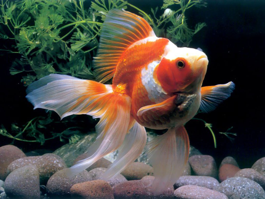 High definition photo and wallpapers fish pictures fish for Koi fish aquarium