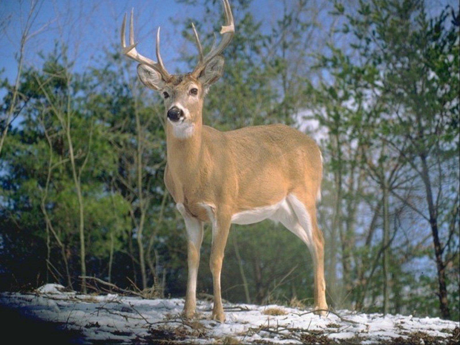 http://1.bp.blogspot.com/_EAViqbzwc_s/TN_RYTV02GI/AAAAAAAACCg/CVJTNIxvTH8/s1600/deer1.jpg