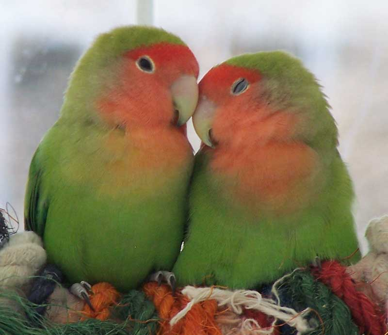 All About Lovebirds