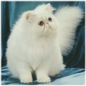 Sweet Cat: Sejarah Kucing Anggora