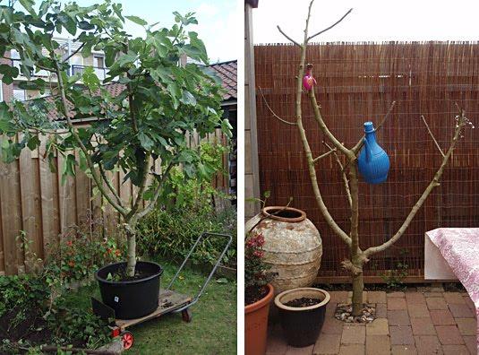 Vijgenboom verplanten