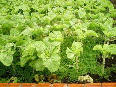 Agricultura urbana ajuda segurança alimentar