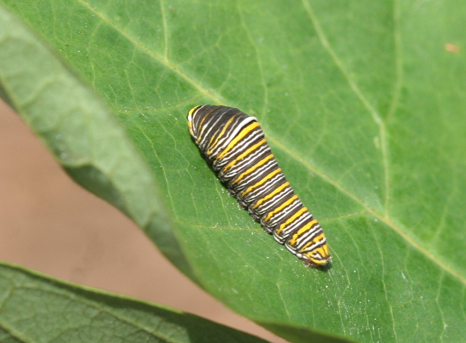 Viewing Gallery For - Zebra Swallowtail CaterpillarZebra Swallowtail Caterpillar