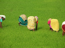 Women working in rice fields