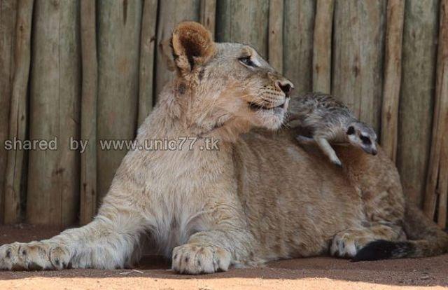 http://1.bp.blogspot.com/_EHi0bg7zYcQ/TJgXWQ1lThI/AAAAAAAAEpg/dVcZHGRC7PA/s1600/best_buddies_lion_640_04.jpg