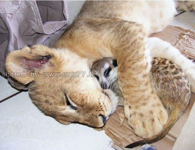 http://1.bp.blogspot.com/_EHi0bg7zYcQ/TJgYK5vD9SI/AAAAAAAAEpw/JtNDxSvv2iY/s1600/best_buddies_lion_640_02.jpg