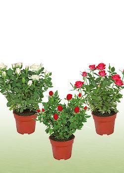 Rosales contenedores adecuados plantaci n en macetas - Rosales en macetas ...