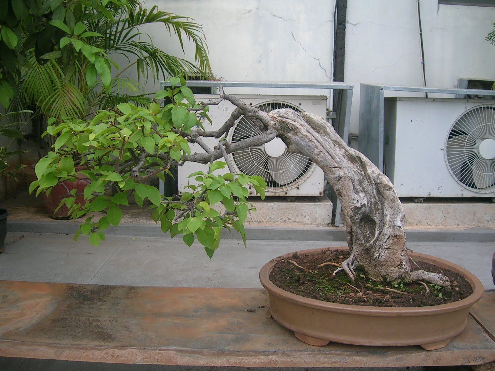Bodhi Bonsai Chennai India Bougainvillea Bonsai