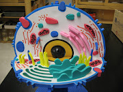 Here is a model of an animal cell