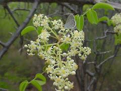 A borboleta azul na flor do imbu