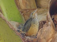 Filhotes de sabia no ninho