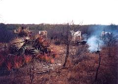 A queima da macambira