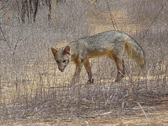 A raposa na caatinga