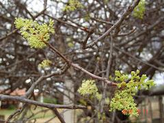 A floração do imbuzeiro
