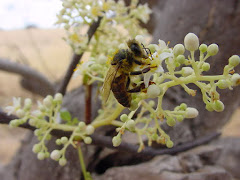 Abelha na flor do imbuzeiro