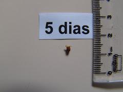 O fruto do imbuzeiro aos 5 dias
