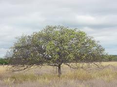 A floração de uma planta jovem do imbuzeiro