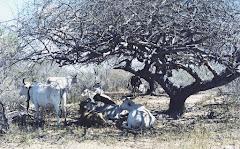 Os bovinos na sombra do imbuzeiro