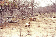 Filhotes de caprinos consumindo folhas seca do imbuzeiro