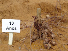 Sistema radicular de uma planta de imbuzeiro aos 10 anos
