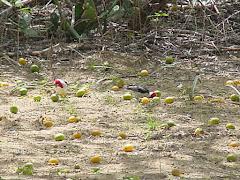 Cabeça vermelha consumindo frutos do imbuzeiro