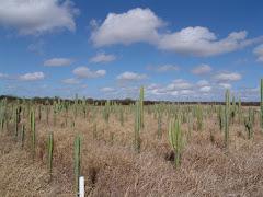 Plantio de mandacaru na caatinga