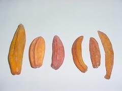Os frutos do mamãozinho-de-veado
