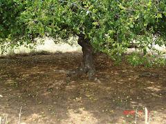 Planta de imbuzeiro com frutos maduros caídos ao chão