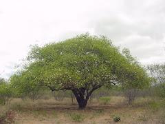 Planta de imbuzeiro na fase de floração
