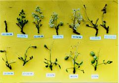 Fases da floração do imbuzeiro