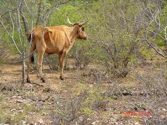 Folhas e brotos novos para os animais da caatinga