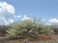 A beleza da floração da jurema preta na caatinga após as chuvas