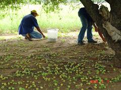 A colheita de imbu