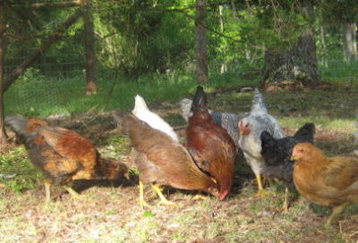 Chickens foraging under the cedar tree