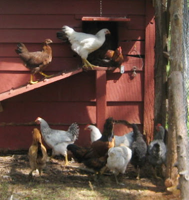 Chickens toward the end of the day.