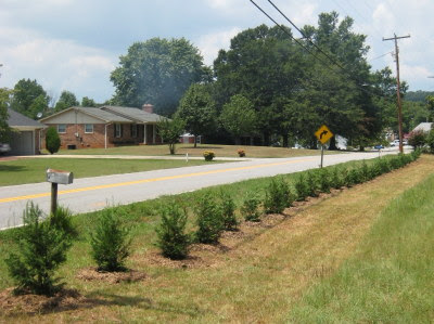 Hedge of little Leyland Cypress trees