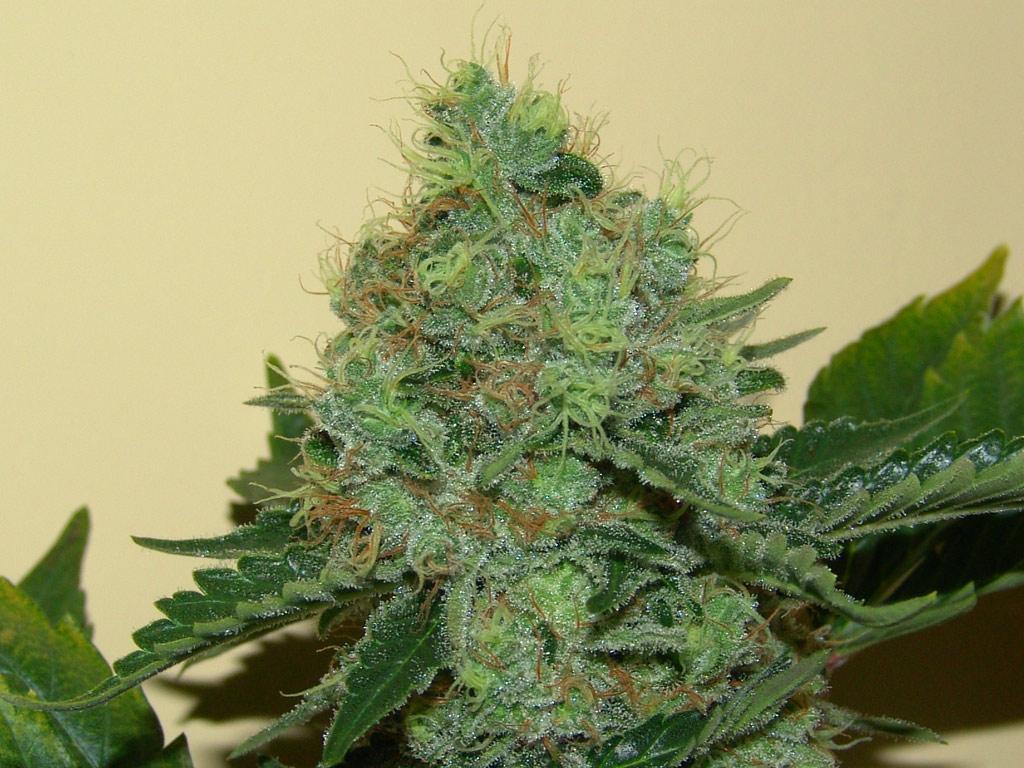 Variedades de plantas de marihuana taringa for Plantas marihuana interior